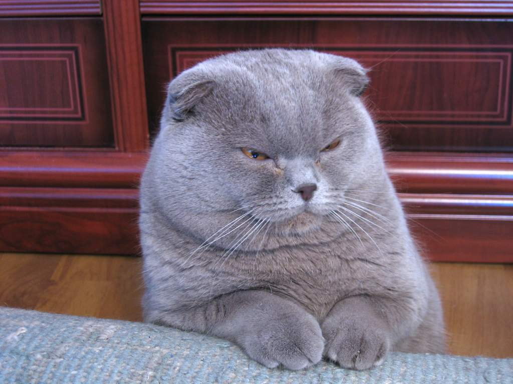 Simple Tips to Help You Choose Scottish fold kittens for sale: